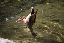 Close-up Of A Multi-colored Male Duck, A Drake Swims And Dives In The Creek Among The Fallen Leaves, Selective Focus