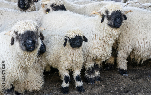 Fototapeta funny black nosed sheep in the mountains of Zermatt, Valais, Wallis,