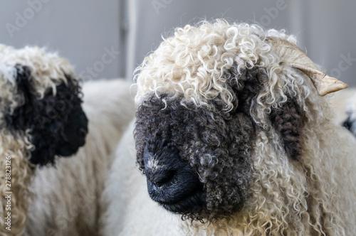Photo funny black nosed sheep in the mountains of Zermatt, Valais, Wallis,