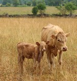 Beef cow and calf looking at camera in tall dry grass with stone fence and treeline behind - 278823521