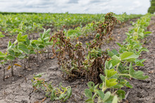 Waterhemp And Weeds Wilting And Dying In Soybean Field After Dicamba Herbicide Application