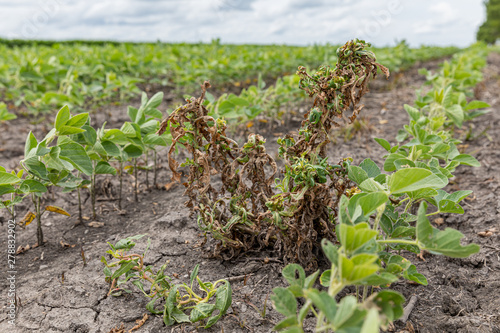 Fotografie, Obraz Waterhemp and weeds wilting and dying in soybean field after dicamba herbicide a