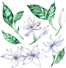 Watercolor Clipart Of White Co...