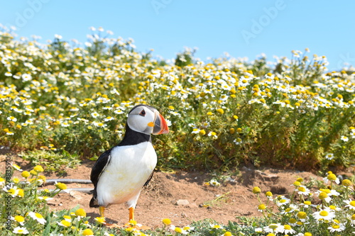 The islands of Pembrokeshire give you the opportunity to get close to wild Atlantic puffins during spring and summer when the wild flowers are in full bloom Wallpaper Mural