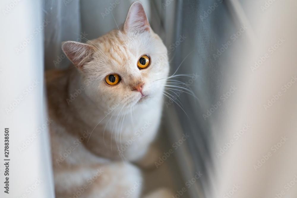 Fototapety, obrazy: Yellow eye scottishfold cat look at camera