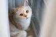 Yellow eye scottishfold cat look at camera