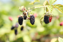 Berries Growing On The Vine At A Berry Farm On A Sunny.
