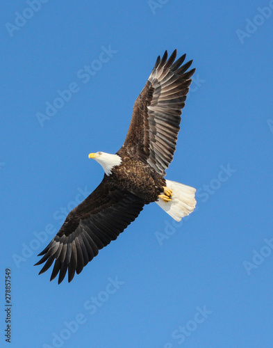Poster Aigle bald eagle in flight