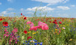 Sommerwiese mit Mohn