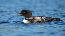 Common Loon In Maine