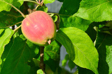 Ripening Red Apple On A Tree I...