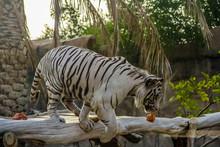 Beautiful Wild Animal Bengal W...