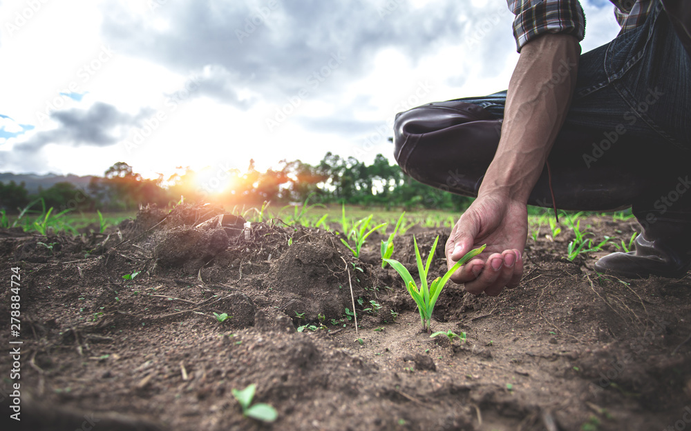 Fototapety, obrazy: Close up hands of young farmer examining young corn maize crop plant in cultivated agricultural field.