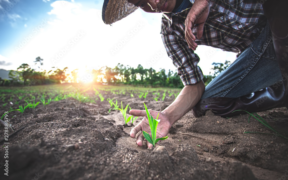 Fototapety, obrazy: Young farmer sitting examining young corn maize crop plant in cultivated agricultural field.