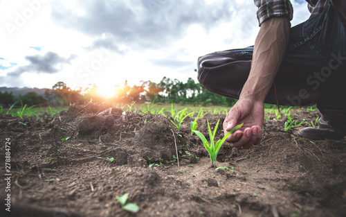 Fototapeta Close up hands of young farmer examining young corn maize crop plant in cultivated agricultural field. obraz