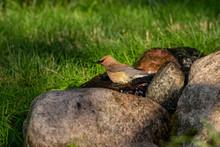 The Cedar Waxwing (Bombycilla Cedrorum),birds Come To The Spring Of Water Small Stream, Where They Bath