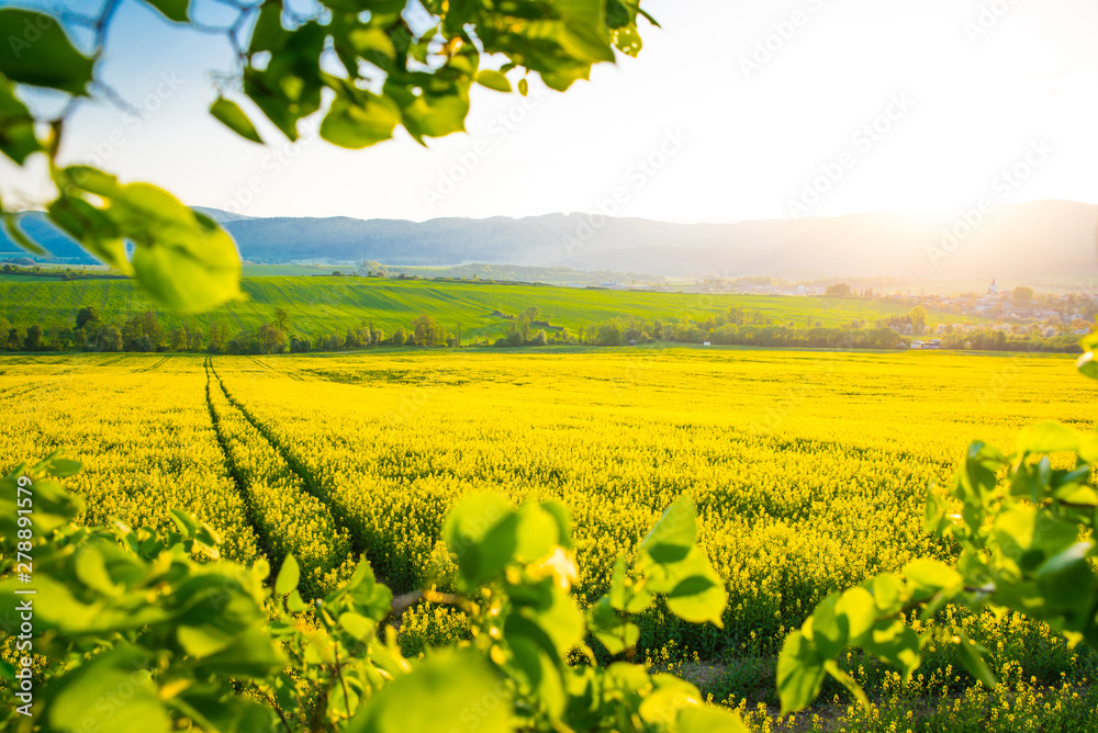 Fototapety, obrazy: Road in Yellow colza field. Beautiful spring wallpaper