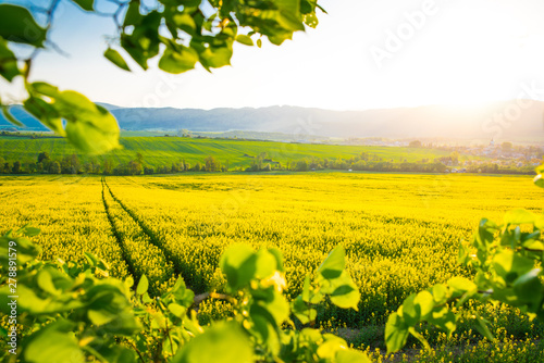 Foto auf Leinwand Melone Road in Yellow colza field. Beautiful spring wallpaper