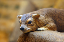 He Yellow-spotted Rock Hyrax O...