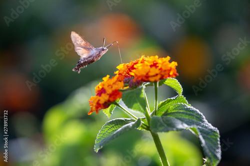Fotografie, Obraz Ein freigestelltes Taubenschwänzchen in der Seitenansicht saugt an einer Blüte d