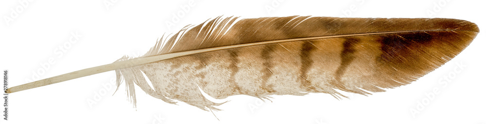 Fototapety, obrazy: Falcon feather isolated on white background.
