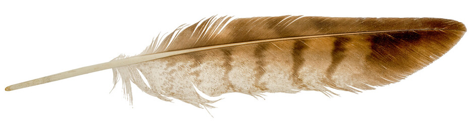 Falcon feather isolated on white background.