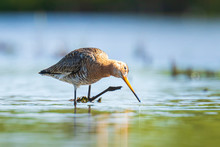Black-tailed Godwit Limosa Limosa Foraging In Water