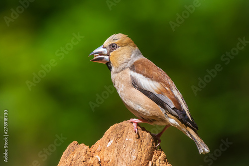 Fotografía Closeup of a female hawfinch Coccothraustes coccothraustes songbird perched in a forest