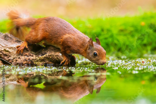 Foto auf AluDibond Eichhornchen Eurasian red squirrel, Sciurus vulgaris, drinking water in a forest pond