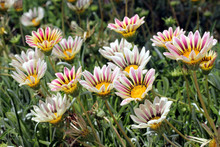 Flowers Gazania With White Pet...