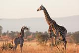 Fototapeta Sawanna - South African giraffe, cape giraffe, giraffa giraffa giraffa, Kruger national park