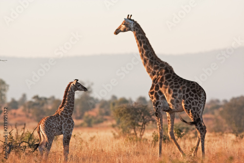 Photo sur Toile Girafe South African giraffe, cape giraffe, giraffa giraffa giraffa, Kruger national park