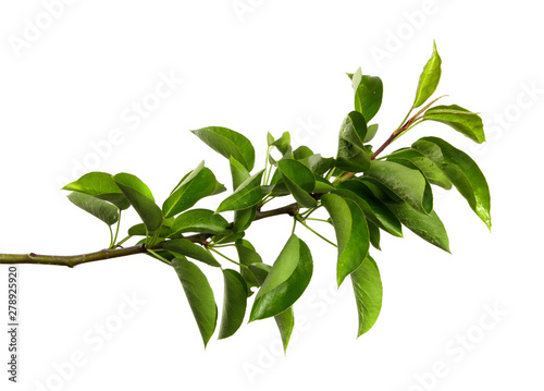 Fototapeta pear tree branch on an isolated white background