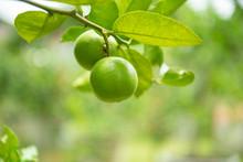 Green Limes On A Tree - Fresh ...