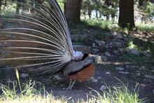 Wolne Pawie W Naturalnym środowisku