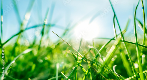Photo sur Toile Herbe Fresh grass and sunny blue sky on a green field at sunrise, nature of countryside