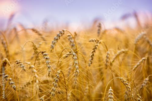 Golden wheat field at sunset. Beautiful nature