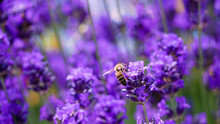 Bee Busy Collecting Nectar From A Lavender Flower