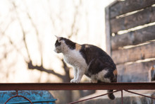 Village Cat Resting.  Cat Is Walking On A Fence