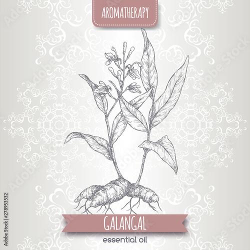 Photo Alpinia galanga aka greater galangal sketch on elegant lace background