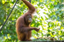 An Orangutan Eating A Banana And Looking In The Natural Park Of Sepilok, Malaysia