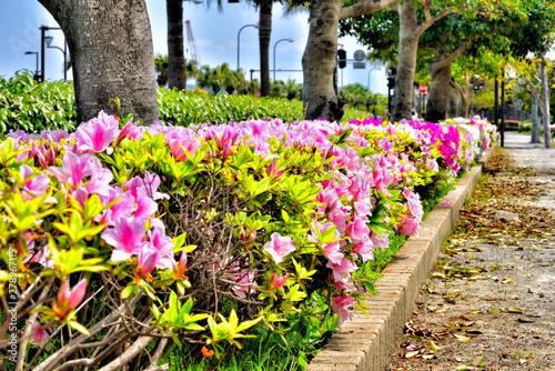 Azalea flowers on the sidewalk.