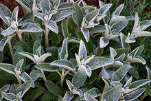 Stachys Byzantina Or Woolly Hedgenettle Or Stachys Lanata Or Stachys Olympica Ornamental Perennials In The Garden