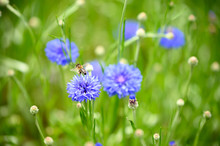 Bees Gather Nectar Amongst Purple Blue Wildflowers