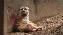 A Captive Meerkat Sits In A Di...