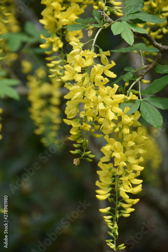 Up Close Look at a Flowering Yellow Tree