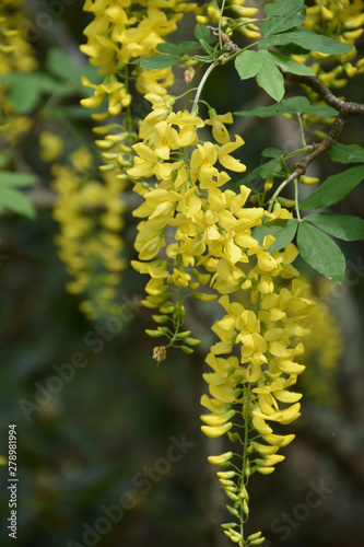 Flowering Yellow Blossoms on a Tree in the Spring