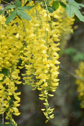 Striking Dangling Yellow Flower Blossoms Draping Down