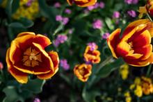 Tulips In The Park Of Paris