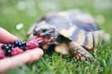 Fototapeta Zwierzęta - Raspberry and blackberry for home turtle